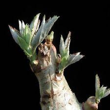 1x Cyphostemma currori Caudexpflanze Samen Pflanze Garten Frisch Neu B1086