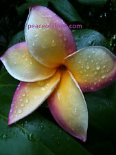 Plumeria Sale 12-13 Inch Cutting Rare (Color:Rainbow) Nice Look And Smell