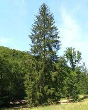 100 Samen -Gemeine Fichte- (Picea abies) Bonsai geeignet