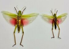 Orthoptera Chondacris rosea mounted pair . Indonésie picture for exemple