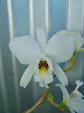 Laelia anceps Dawsonii orchid plant In Bloom cattleya (61 Fls x Marble King)
