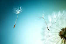 BEAUTIFUL DANDELION FLOWER CANVAS PICTURE #22 STUNNING FLORAL HOME DECOR CANVAS