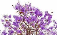 Die glockenförmigen Blüten, eine schöne Frühlingsbotschaft - der Palisanderbaum.