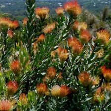 LEUCOSPERMUM guenzii Kloof Fountain Pincushion  Seeds (E 97)