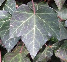 30 Samen Efeu (Hedera helix), Kletterpflanze, Bodendecker, Fassadenbegrünung