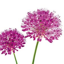 Get Well Soon Card - Beautiful Allium Flowers Quality Card & Free 1st Class Post