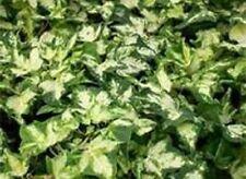Green & White Variegated Kohlribi Hedera Ivy Starter Plant