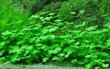 Aquarium Plante D'aquarium Hydrocotyle Tripartita de Tropica Nr.039b