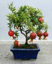 50 Pomegranate Tree Seeds Punica granatum Rare Fruit Bonsai Plant in Garden Home
