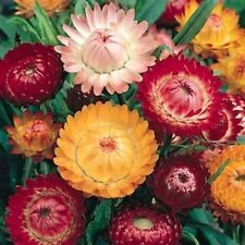 Strawflower 8 Colours Helichrysum Sultane Mix Seeds, Cut or Dried Double Flowers