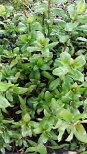 Hygrophila polysperma 'Rosanervig' - dwarf hygrophila - Aquarium plant