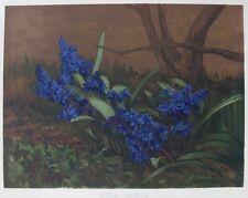 OLD FLOWER PRINT SCILLA TAURICA HYACINTHACEAE c1893