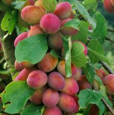 Victoria Plum Fruit Tree 4-5ft Juicy, Self Fertile & Ready to Fruit