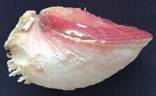 SHELL CONCHIGLIA SPONDYLUS GAEDEROPUS mm.97,4 GREECE