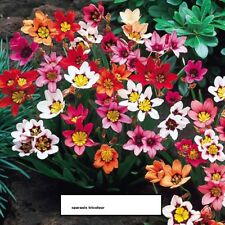 20 Sparaxis tricolour, late spring,early summer flowering bulbs,fresh weekly