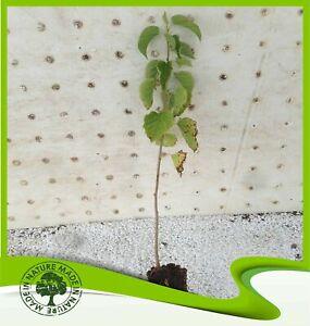 Morus nigra (Black Mulberry) - Plant