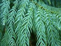 Taiwanie 20 Samen (Taiwania cryptomerioides) -Zypressengewächse-