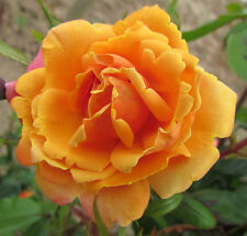 ORANGE BLOSSOM SPECIAL -5.5lt Potted Climbing Garden Rose-Orange,Scented,Repeats