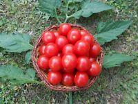 "Honig-Tomate ""Miel du Mexique""  Teuerste Tomate der Welt ! Zimmertomate // Samen"