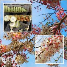 Cassia bakeriana Craib 50 Seeds, Wishing Tree, Pink Shower, Pink Cassia Seeds