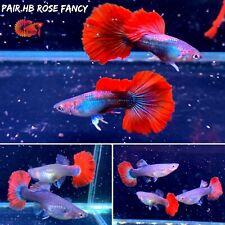 1 Trio - HB Red Rose Guppy  Live Aquatic Guppy Fish High Quality Top Grade A+++