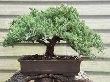 Bonsai Extra Large Japanese Dwarf Juniper Bonsai Tree #026