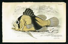 1852 Barred Soapafish, Yellow Emperor, Hand-Colored Antique Print - Lizars