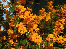 "Berberis darwinii ""Darwin´s barberry""  - 50 seeds - evergren shrub and edible fr"