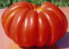 Tomato Seeds  Florence Milled Vegetable Seeds. 70 SEEDS