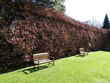 100 Green Beech Hedging Plants 120-150cm,Copper Autumn Colour 4-5ft Trees