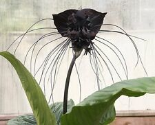 Tacca Chantrieri 10 Seeds, The Black Bat Plant, Flowering Garden Whiskers USA