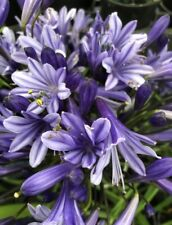 Agapanthus 'Tornado' 9cm. Very Hardy. National Collection Holders