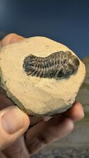 More details for drotops trilobite fossil on prepped matrix 61mm x 57mm superb eye detail