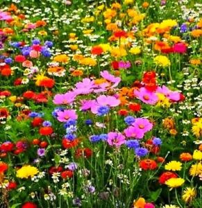 Wildflower Seeds 50g Scented Bee Butterfly Meadow Cottage Garden (NO GRASS)