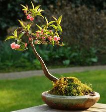 ALMOND TREE - BEAUTIFUL FLOWERING -  BONSAI -  PRUNUS DULCIS - 5 FRESH SEEDS