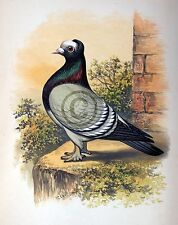 """Fancy Pigeon """" The Priest """" By James C. Lyell Poster Art 13"""" X 19"""""""
