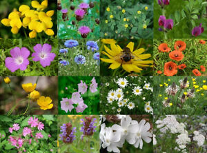 Wild Flower Seeds - 50gms - Native English Meadow mix plus Annuals
