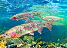 Rainbow Trout  - 3D Lenticular Postcard Greeting Card