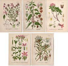 FIVE 1904 Antique Prints: PINK RED WHITE WILD ALPINE FLOWERS Botanical Decor