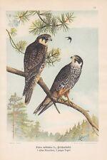 ALBERO Falco allodole falco falco Subbuteo queIIa per 1900 Falchi Falcon