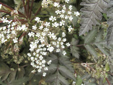 Anthriscus Sylvestris 'Ravenswing' Cow Parsley - 15 Seeds - Hardy Perennial