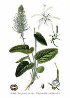 exotisches Gemüse aus dem Garten - die TEUFELSKRALLE - kaum bekannt