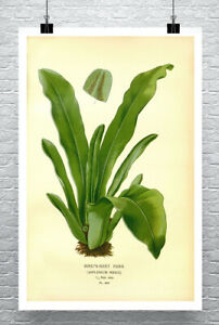 Birds Nest Fern Plant Illustration Fine Art Giclee Print Canvas or Paper
