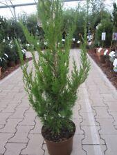 Juniperus virginiana Helle - Säulenwacholder Helle
