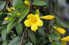4 LIVE PLANTS YELLOW JASMINE CAROLINA JESSAMINE FLOWERS TRAILING CLIMBING VINES
