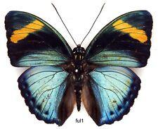 Butterfly - 1 x mounted male Euphaedra fulvofasciata (Good A1-)