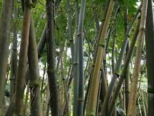 7 Graines - Bambou Geant - DENDROCALAMUS STRICTUS - Jardin Garden - Samen Semi