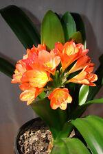 orange-rot Clivia Klivia Klivie Clivie, Riemenblatt Büro Zimmerpflanze Blume