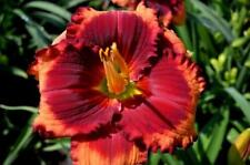 Daylily Seeds (Red Eyed Rascal x All The Rave) (14) Seeds