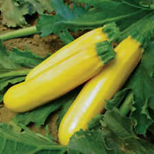 Golden Zucchini Summer Squash Seeds, Non-Gmo, Variety Sizes Sold, Free Shipping